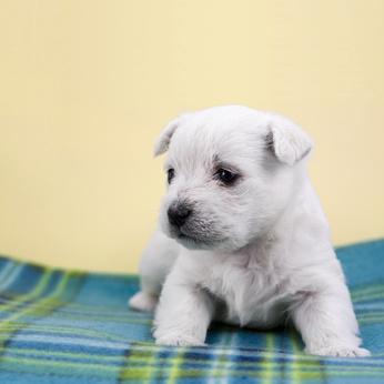 Weißer Hundewelpe auf blauer Decke