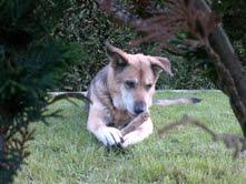 Mischlingshündin Deutscher Schäferhund/ Kaukasischer Schäferhund