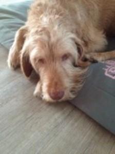 Alter Hund - Darmentzündung - Lahm