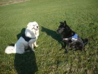 Alter Hund mit Arthrose (Berry White, Dzuvac und schwarze Schäferhundmix, Lucky)